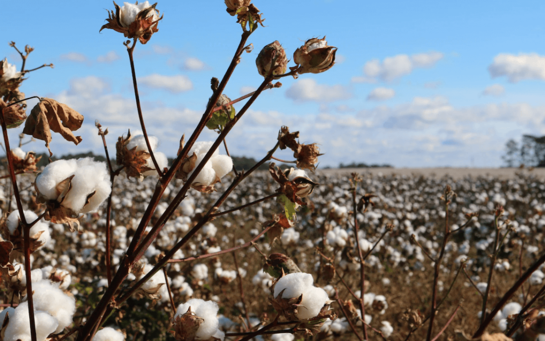 U.S. Import Ban on Xinjiang Cotton Could Impact More Than 2,400 Chinese Firms